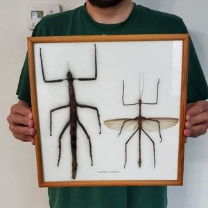 Giant stick bugs adult pair